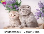Stock photo portrait of two scottish kittens playful cats in the drawer decorations near cats beautiful cat 750043486