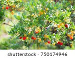 strawberry tree  arbutus.  | Shutterstock . vector #750174946