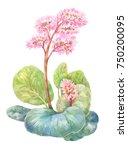 blooming tea  badan or bergenia.... | Shutterstock . vector #750200095