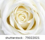 Stock photo beautiful perfect white rose flower head 75022021