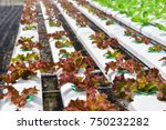 young red oak  green oak ... | Shutterstock . vector #750232282