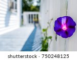 isolated violet flower on... | Shutterstock . vector #750248125