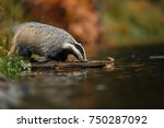 badger running in forest ... | Shutterstock . vector #750287092
