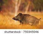 big wild pig in grass meadow | Shutterstock . vector #750345046