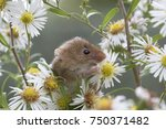 harvest mice  mouse close up... | Shutterstock . vector #750371482