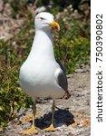 beautiful clean seagull in sun | Shutterstock . vector #750390802