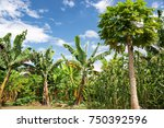 farm in salento  colombia with... | Shutterstock . vector #750392596