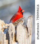 Small photo of Male Northern Cardinal (Cardinalis cardinalis) and an American Tree Sparrow (Spizelloides arborea) share a stump in winter.