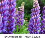 beautiful lupine garden. pink... | Shutterstock . vector #750461236