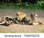 hyenas pick at and eat the... | Shutterstock . vector #750470272