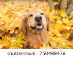 golden retriever dog in a pile... | Shutterstock . vector #750488476