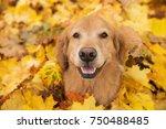golden retriever dog in a pile... | Shutterstock . vector #750488485