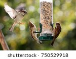 House Sparrows Fighting  ...