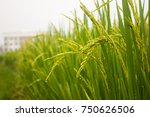 rice field | Shutterstock . vector #750626506