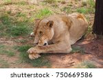 Close Up Image Of Female Lion...