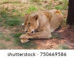 Close Up Image Of Female Lion...