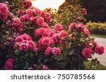 Stock photo queen mary s rose gardens london august roses garden 750785566