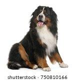 Bernese Mountain Dog  3 Years...
