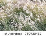 dry grass flower blowing in the ...