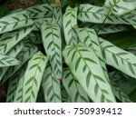 calathea bachemiana e. morren ... | Shutterstock . vector #750939412