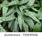 calathea bachemiana e. morren ... | Shutterstock . vector #750939436