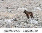 Small photo of Little T - lamar canyon pack wolf - wild, non-captive wolf - Yellowstone National Park