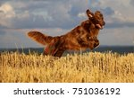 flat coated retriever is...   Shutterstock . vector #751036192