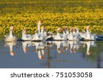 a large flock of white domestic ...   Shutterstock . vector #751053058