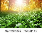 Wild garlic forest in Hungary - stock photo