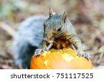 Brown Squirrel Eating Autumn...