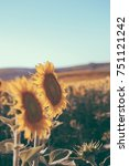 Vintage Sunflowers Texture Background For - Fine Art prints
