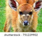 Face Of Sitatunga