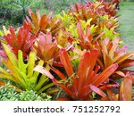 Small photo of Red and Yellow Bromeliads. Bromeliad flowerbed (Aechmea blanchetiana) in southern Brazil.