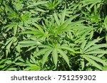 "real ""marijuana"" plant  or... | Shutterstock . vector #751259302"