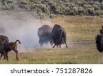 Two Male Bison Spar During The...