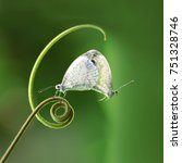 Small photo of Mating white butterflies (Pieridae Leptosia Nina) hanging on a green shoot