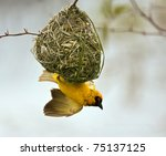 Weaver Building A Nest In A...