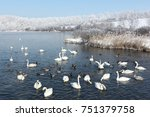 Whooper Swans Swimming In The...