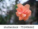 hibiscus flower  china rose ... | Shutterstock . vector #751406662