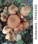 Small photo of Honey fungus (Armillaria mellea)