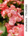 Flower Of Begonia With Drops O...