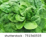 fresh green baby spinach leaves ... | Shutterstock . vector #751560535