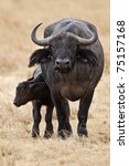 Cute Baby African Buffalo With...