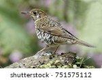 bassian thrush bird closeup... | Shutterstock . vector #751575112