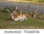 Deer Lying On The Grass In...