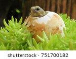cute baby tortoise hatching on... | Shutterstock . vector #751700182