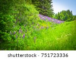 Landscape Of Lupine And Daisy...