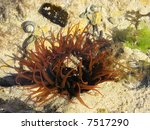 Small photo of Waratah Anemone Actinia tenebrosa
