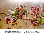 Red Hawthorn Berries On A...