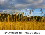 Dry reeds and evening sky on the background, Linlo, Finland